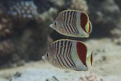 BD-150225-Tiran-6829-Chaetodon-paucifasciatus.-Ahl.-1923-[Eritrean-butterflyfish].jpg